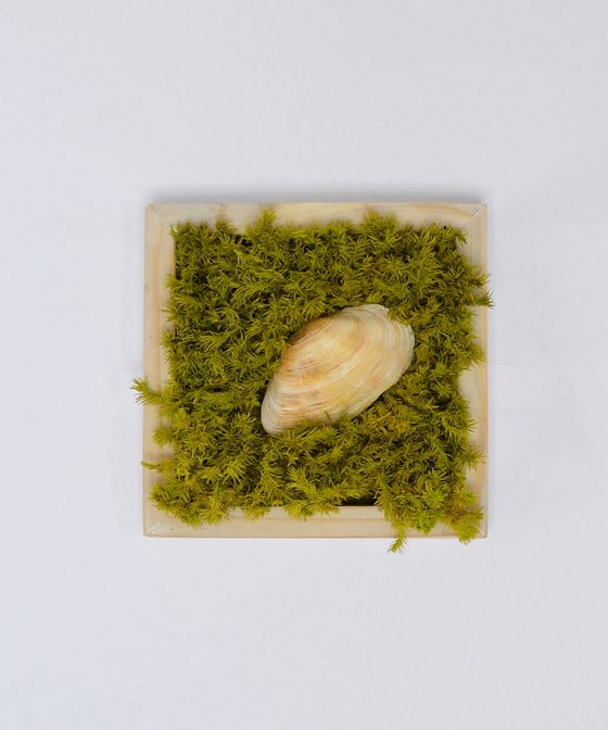 Algae - Tablou cu muşchi naturali şi scoică